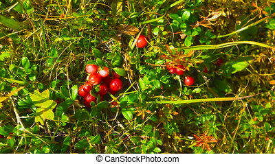 Man collect lingonberry straight from the bush in the...