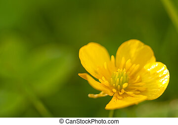 Yellow buttercup macro close up in nature