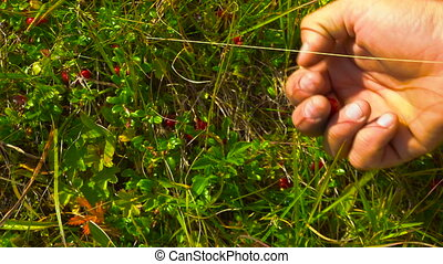 Traveling Man collect lingonberry straight from the bush in...
