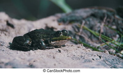 Green Frog Sitting on a River Bank and Jump in Water. Slow Motion
