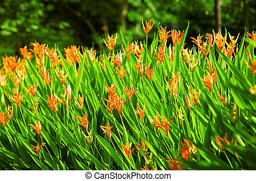Birds of paradise - Beautiful vivid orange flowers - Birds...