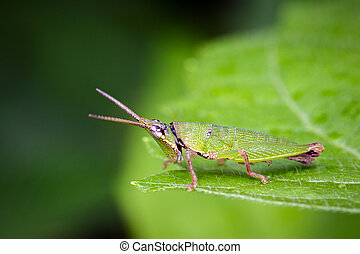 Image of Slant-faced or Gaudy Grasshopper on nature...