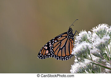 Monarch Butterfly perched on flowers soaking up the morning...