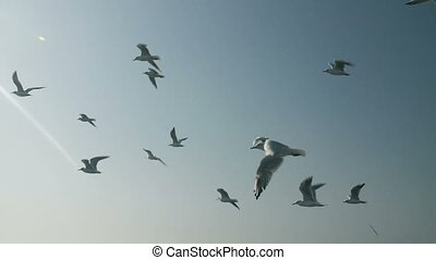 Flock of Seagulls in the Sky - Flying flock of seagulls in...