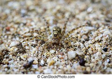 rzeka, sand., wizerunek, (venatrix, pająki, zwierzę,...