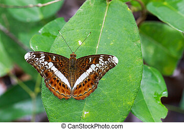 Image of The Knight butterfly (Lebadea martha Fabricius,...