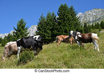 pascolo bestiame in montagna