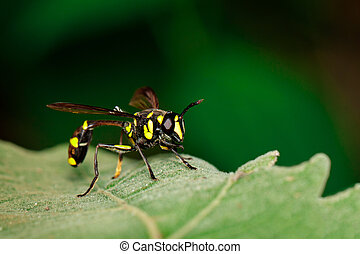Image of Potter Wasp(Phimenes flavopictus) on the green...