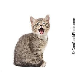 yawning kitten - Yawning small grey kitten isolated on white...