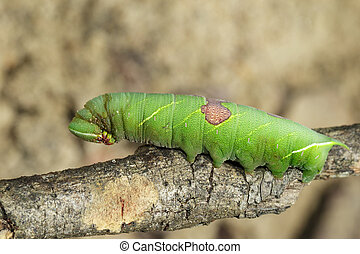 Image of green caterpillar on a branch. Insect. Animal