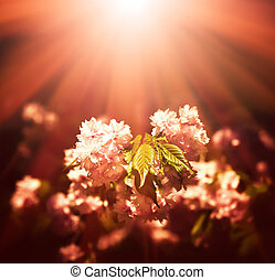 Japanese cherry-tree blossoms - Soft focus image of Japanese...