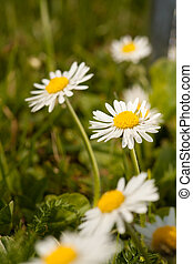 Field flowers - Daisy flowers macro close up in nature