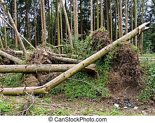 Storm damage Trees in the forest after a storm - Storm...