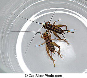 Two crickets creep in a glass mug