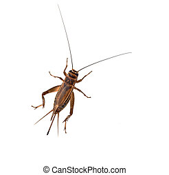 Cricket on a white background - The house Cricket creeps on...