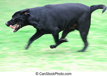 Dog running - Labrador dog running on the lawn