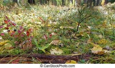 View of autumn European forest Yellow leaves rowan, Shallow...