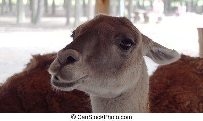 cute llamas eating vegetables close up - cute llamas eating...