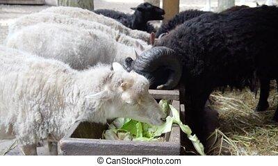 sheeps eating at farm - sheeps eating vegetables at farm