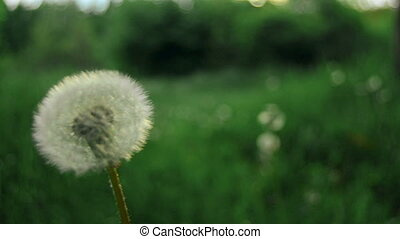 old dandelion on a green grass background