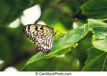 Malachite butterfly (Siproeta stelenes) - A Malachite...