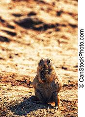 A Brown Prairie Dog - Close-up of a brown prairie dog