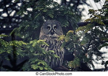 Great Grey Owl - Great grey owl of Lapland