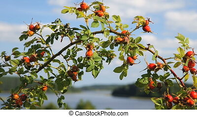 Rosehip bushes branch over nice lakeshore landscape on a...