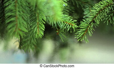 beautiful green FIR branches with drops after rain close-up