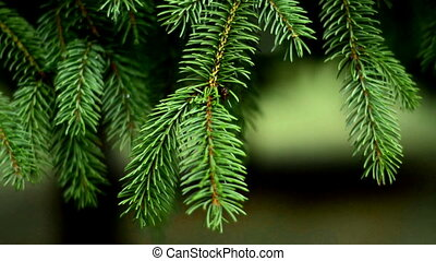 lovely FIR branches with small needles close-up