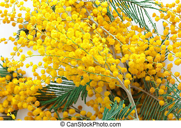 mimosa - branch fresh and beautiful mimosa close up