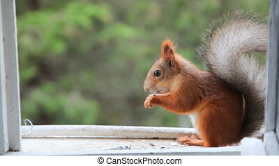 Squirrel eat nuts