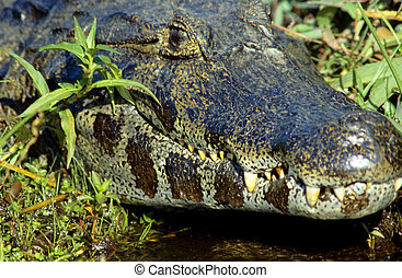 Spectacled caiman caiman crocodilus in the wild in the...