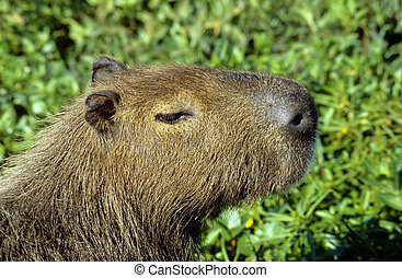 Capybara - A capybara in Los Esteros del Ibera, Argentina