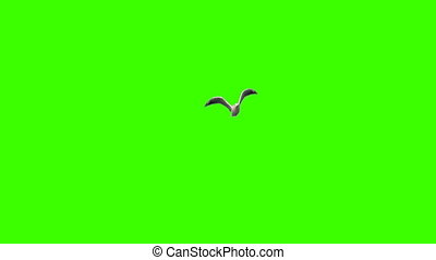 Seagull on chroma key - Flying seagull in slow motion on...