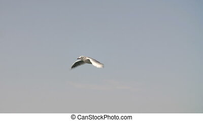 Lonely Flying Seagull - Flying seagull in slow motion