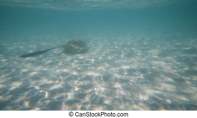 Swimming with a stingray under the blue sea - A wide slow...