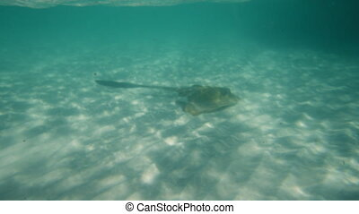 A stingray in the middle of the sea - An underwater shot of...
