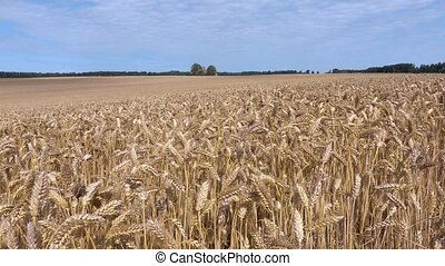 Cereals field with yellow ears
