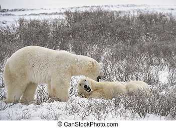 Relax. - Two polar bears have met and sniff each other....