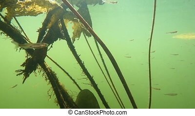 deep dive in river with algae and fry in green water