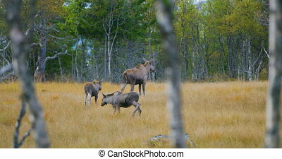 Female moose mother with two young elk calfs walks in forest...