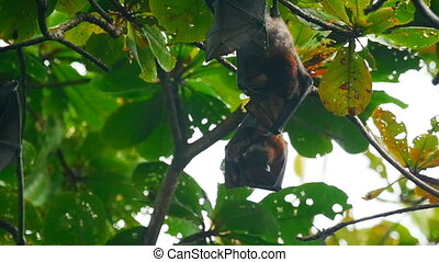 Flying foxes hanging on a tree branch and washing up -...
