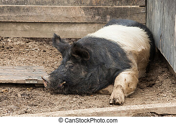 Large Hog in Pigpen - A large black and white hog lies in a...