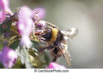 Bumblebee sucking pollen from wild flowers - Bumblebee...