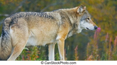 Close-up of beautiful grey wolf standing in the forest -...