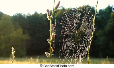 Morning dew on spiderweb moving on wind, natural background...