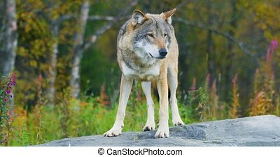 Adult grey wolf standing on a rock in the forest observing....