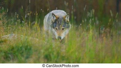 Wild male wolf walking in the grass in the forest - Close-up...
