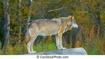 Large grey wolf standing on a rock in the forest - Large...
